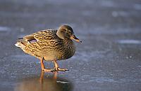 Stockente, Weibchen im Winter auf Eis stehend, Stock-Ente, Anas platyrhynchos, mallard