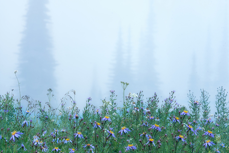 Fog and wildflowers in forest. Mt. Rainier National Park, WA