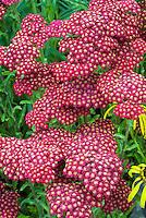Common Yarrow Red Velvet flowers, Achillea millefolium