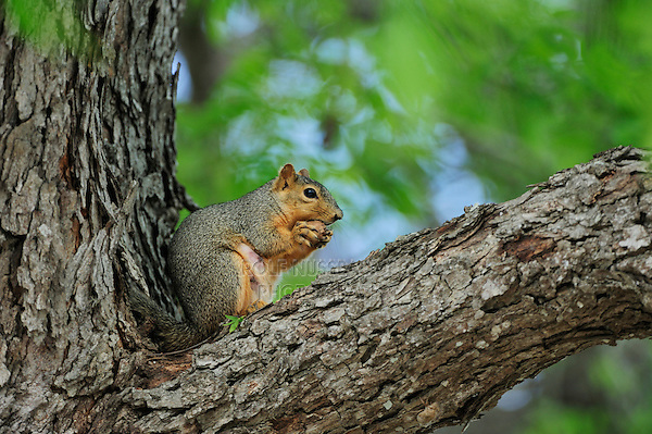 Eastern Fox Squirrel (Sciurus niger), adult eating pecan in pecan tree, Dinero, Lake Corpus Christi, South Texas, USA