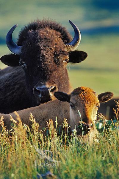 American bison and calf (Bison bison).  Western U.S.