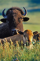 American bison and calf (Bison bison).  Western U.S.