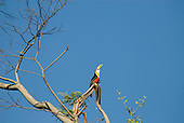 Red-breasted toucan (tucano de bico verde) (Ramphastos dicolorus) perched on a branch of a leafless tree Mata Atlantica forest.