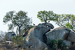 Dik-diks (Madoqua sp.) find safety amidst boulders and a marula (Sclerocarya birrea), Mala Mala Game Reserve, South Africa<br /> <br /> Canon EOS-1D X, EF200-400mm f/4L IS USM lens +2x III, f/14 for 1/2500 second, ISO 4000