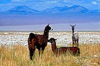 Lhamas no Deserto do Atacama. Chile. 1998. Foto de Vinícius Romanini.