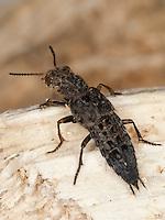Gewürfelter Raubkäfer, Kurzflügler, Ontholestes tessellatus, Yellow-brown Rove Beetle