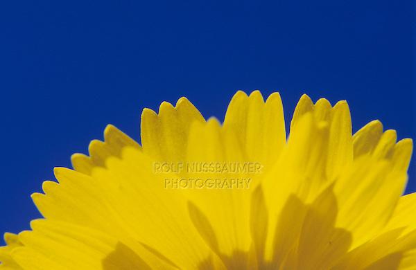 Desert Marigold, Baileya multiradiata, blossom, Big Bend National Park, Texas, USA