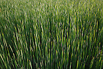field of cattails in wisconsin