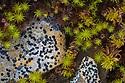 Lichens {Lecidea sp.} and mosses {Spagnum sp. and Polytrichum sp.} growing on moorland. Peak District National Park, Derbyshire, UK. September.