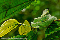 Two-striped Forest-Pitviper (Bothriopsis bilineata smaragdina) curled on a bush in lowland tropical rainforest, Bahuaja-Sonene National Park, Madre de Dios, Peru.