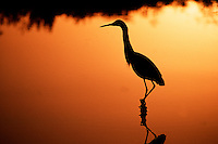 A Snowy egret in silhouette along water's edge at sunset.