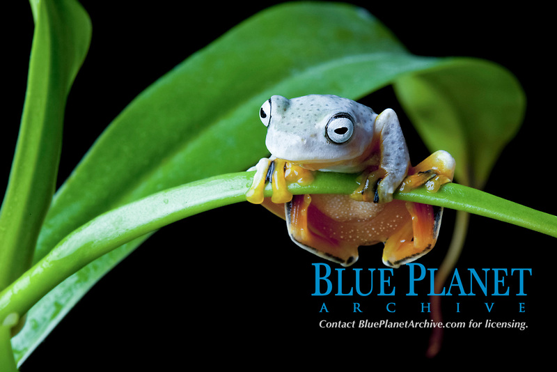 black-webbed tree frog,green flying frog, or Reinwardt's tree frog, Rhacophorus reinwardtii, juvenile, sitting on leaf, known to spreads its heavily webbed toes to break its fall when jumping from tree to tree, Southeast Asia