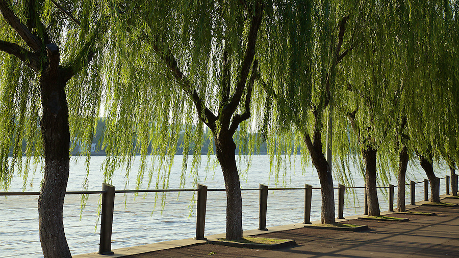 Weeping Willows On The Bund (west) In Ningbo (Ningpo).