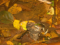 Vaillant's Frog, Lithobates vaillanti (formerly Rana vaillanti), near Arenal Volcano National Park, La Fortuna, Costa Rica
