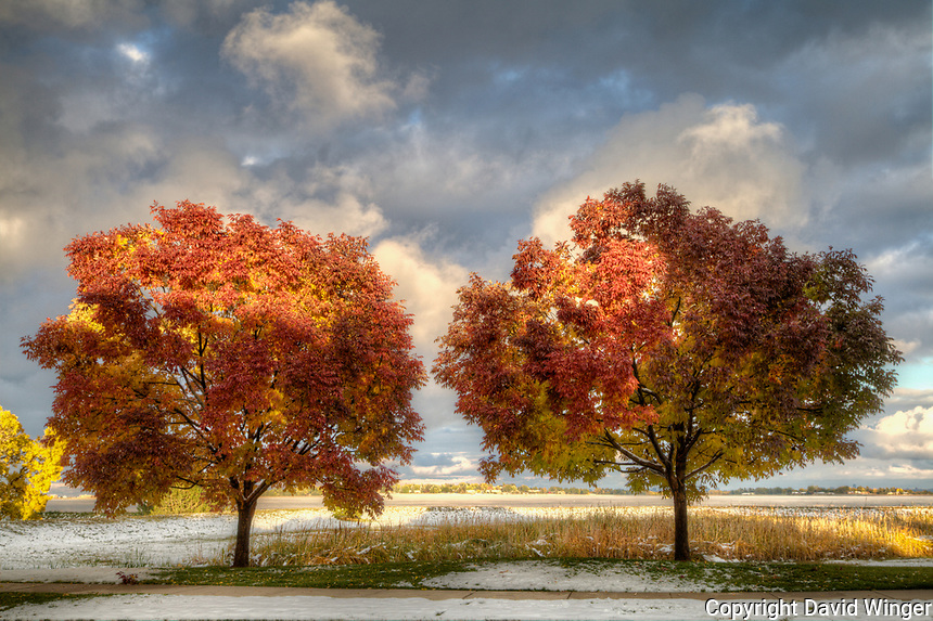 Two Autumn Purple Ash trees in their full fall color with late day sunshine highlighting the tree tops and the clouds behind.
