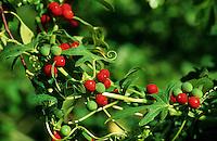 Rotfrüchtige Zaunrübe, Zweihäusige Zaunrübe, Früchte, Bryonia dioica, White Bryony