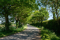 Country road with trees & hedges - Lincolnshire, May