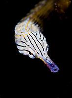 Scribbled pipefish, Corythoichthys intestinalis, portrait, Mabul Island, Sabah, Borneo, Malaysia, Celebes Sea, Pacific Ocean