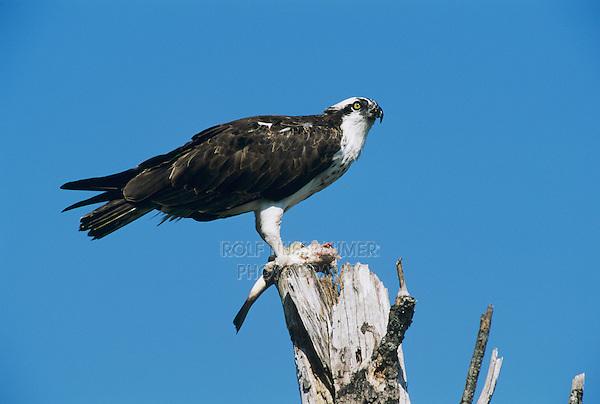 Osprey, Pandion haliaetus,adult eating fish, Sanibel Island, Florida, USA, Dezember 1998