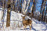 White-tailed fawn in a winter woodland.