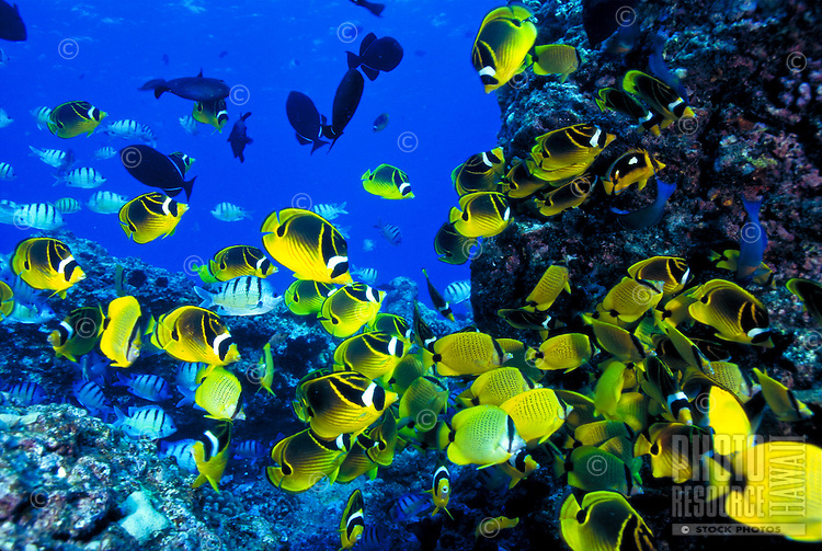 Reef fish including racoon butterfly