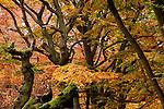 Europa, DEU, Deutschland, Hessen, Nordhessen, Kellerwald, Albertshausen, Herbst, Hutewald Halloh, Kategorien und Themen, Natur, Umwelt, Landschaft, Jahreszeiten, Stimmungen, Landschaftsfotografie, Landschaften, Landschaftsphoto, Landschaftsphotographie, Naturschutz, Naturschutzgebiete, Landschaftsschutz, Biotop, Biotope, Landschaftsschutzgebiete, Landschaftsschutzgebiet, Oekologie, Oekologisch, Typisch, Landschaftstypisch, Landschaftspflege....[Fuer die Nutzung gelten die jeweils gueltigen Allgemeinen Liefer-und Geschaeftsbedingungen. Nutzung nur gegen Verwendungsmeldung und Nachweis. Download der AGB unter http://www.image-box.com oder werden auf Anfrage zugesendet. Freigabe ist vorher erforderlich. Jede Nutzung des Fotos ist honorarpflichtig gemaess derzeit gueltiger MFM Liste - Kontakt, Uwe Schmid-Fotografie, Duisburg, Tel. (+49).2065.677997, fotofinder@image-box.com, www.image-box.com]