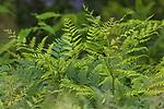 Bracken ferns growing in northern Wisconsin.
