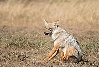 East African Jackal (Black-backed Jackal), Canis mesomelas schmidti, in Serengeti National Park, Tanzania