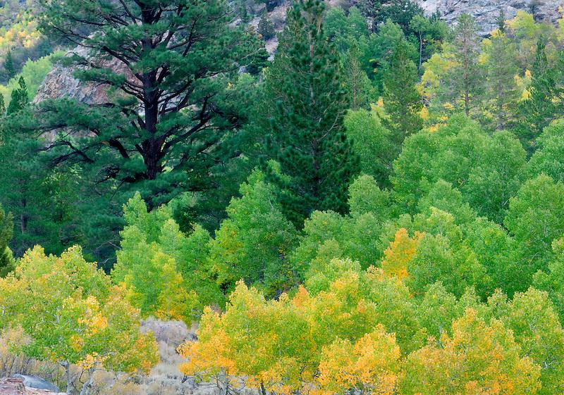 Fir and fall colored aspens trees. June Lakes Road. California.