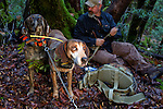 Redtick Coonhound (Canis familiaris) and Plott Hound (Canis familiaris) with houndsman, Troy Collinsworth, waiting for a puma to climb down from a tree to chase it to a safer tree to dart and re-collar, Santa Cruz Puma Project, Uvas Canyon County Park, Santa Cruz Mountains, California