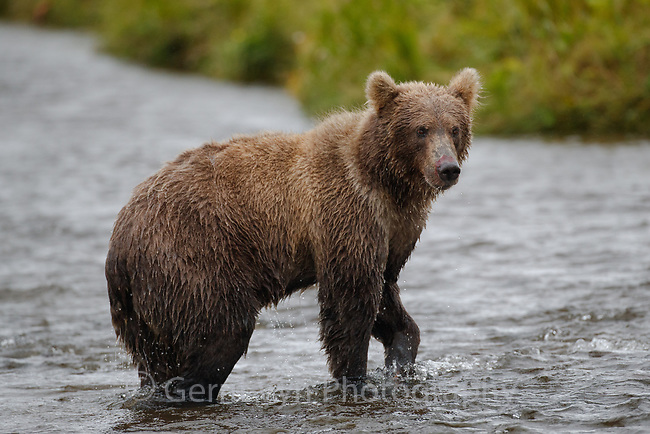 Grizzly Bear populations in and around Izembek Lagoon are among the densest in the world, attracted and fed by robust populations of 4 Pacific salmon species that spawn in the lakes and streams of the refuge. Izembek NWR, Alaska.