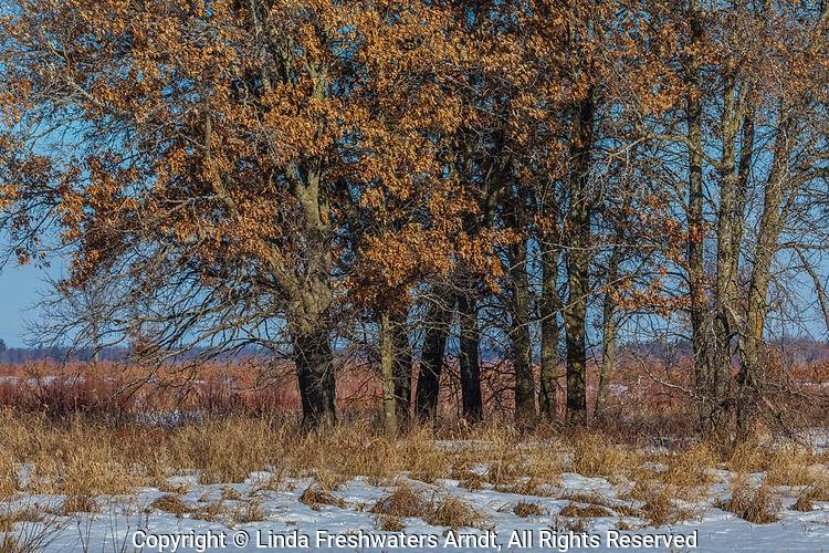 Oak trees in the Crex Meadows wildlife area.