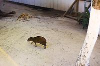 Honduras, Roatan Island, Fantasy Island Resort, Caribbean. Local animal.