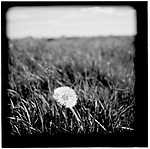 A dandelion in a Swedish field. Europe before the euro.