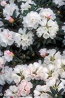 Rhododendron yakushimanum 'Kochiro Wada' flowers AGM