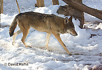 0221-1007  Critically Endangered Red Wolf in Snow, Canis rufus (syn. Canis niger)  © David Kuhn/Dwight Kuhn Photography.