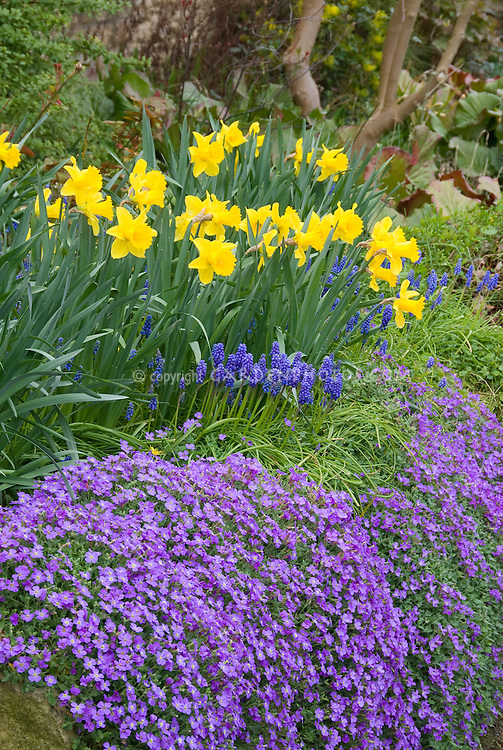 Daffodil Narcissus with grape hyacinths Muscari and rockcress in spring bloom in yellow and blue purple color theme