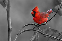 Northern Cardinal, with a black & white background conversion.