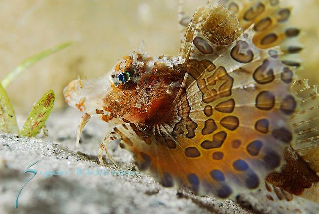 Juvenile Band Tail Sea Robin; Prionotus ophryas, Patterns of fins, Underwater Marine life Behavior, Blue Heron Bridge, Lake Worth Inlet, Riviera, Florida, USA, Intra Coastal Waterway, North Atlantic Ocean.1-4-9-83