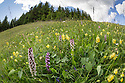 Burnt / Burnt-tip Orchid {Orchis ustulata}, Fragrant Orchid (Gymnadenia conopsea) and Yellow Rattle {Rhinanthus sp.} flowering in ancient alpine meadow. Nordtirol, Austrian Alps. June.