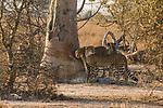 Cheetah (Acinonyx jubatus) twenty-one month old sub-adult siblings smelling scent-marking tree, Kafue National Park, Zambia