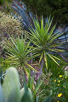 Yucca aloifolia, Spanish Dagger or Aloe yucca succulent in Debra Lee Baldwin Southern California succulent garden