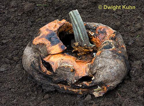 DC10-518z  Jack-o-Lantern decomposing in garden, Fungus growth on fruit.