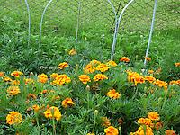 Pretty Marigold flowers near garden fence