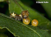 1020-0819  Giant Swallowtail Butterfly 1st Instar Caterpillar with Eggs on Prickly Ash (Life Cycle Series), Papilio cresphontes © David Kuhn/Dwight Kuhn Photography.