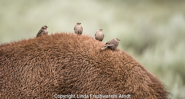 Cowbirds on American Bison in Yellowstone National Park