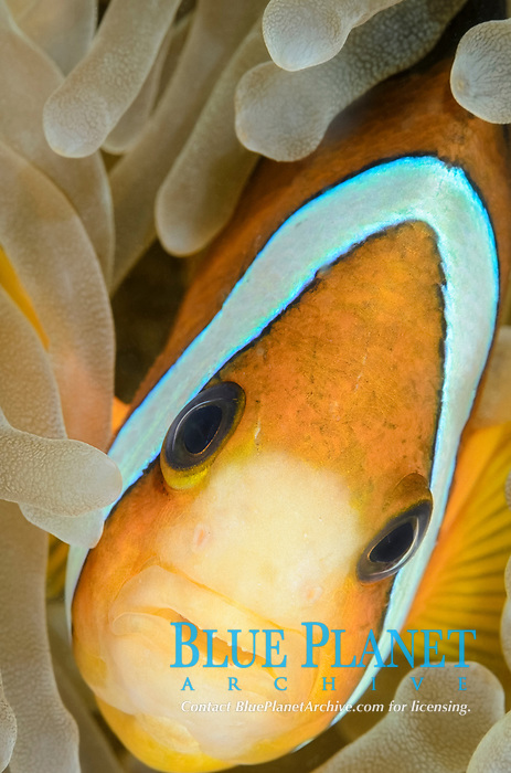 Clark's anemonefish, Amphiprion clarkii, Ambon, Maluku, Indonesia, Pacific Ocean