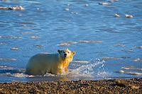 polar bear, Ursus maritimus, cub walks in the water, 1002 coastal plain of the Arctic National Wildlife Refuge, Alaska, polar bear, Ursus maritimus