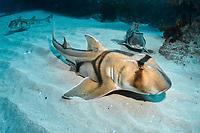 Port Jackson shark, Heterodontus portusjacksoni, endemic species, Jervis Bay, New South Wales, Australia, Pacific Ocean