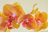 Moth Orchids or Phalaenopsis sp
